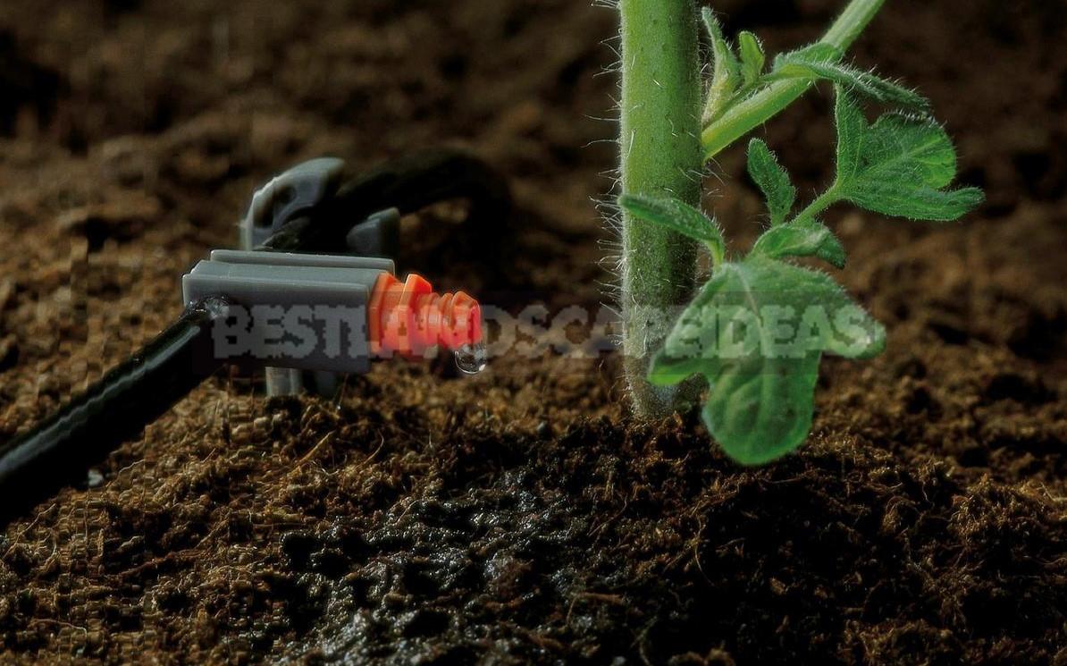 Drip irrigation of greenhouse 1 - Drip Irrigation of Greenhouse