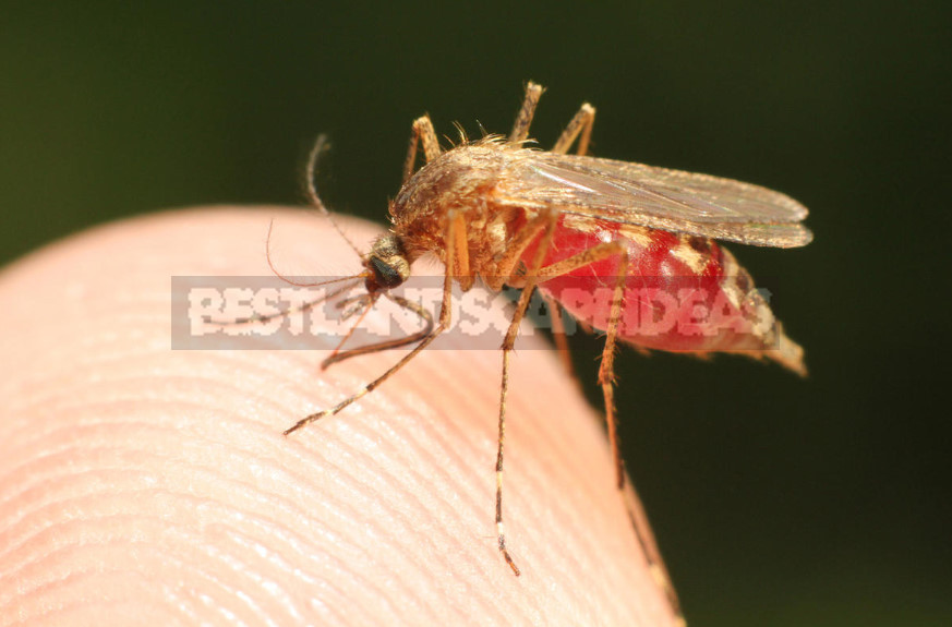 What are dangerous mosquitoes and how to deal with them 1 - What are Dangerous Mosquitoes and How to Deal With Them (Part 2)