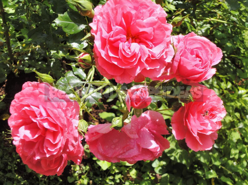 Why dont roses bloom 7 possible reasons 1 - Why Don't Roses Bloom: 7 Possible Reasons