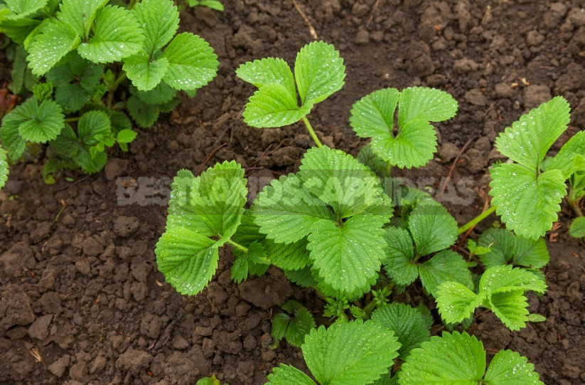 Why not blooms strawberry garden 10 reasons obvious and not very 1 - Why Strawberries Do Not Bloom: the Reasons for the Lack of Flowers (Part 2)