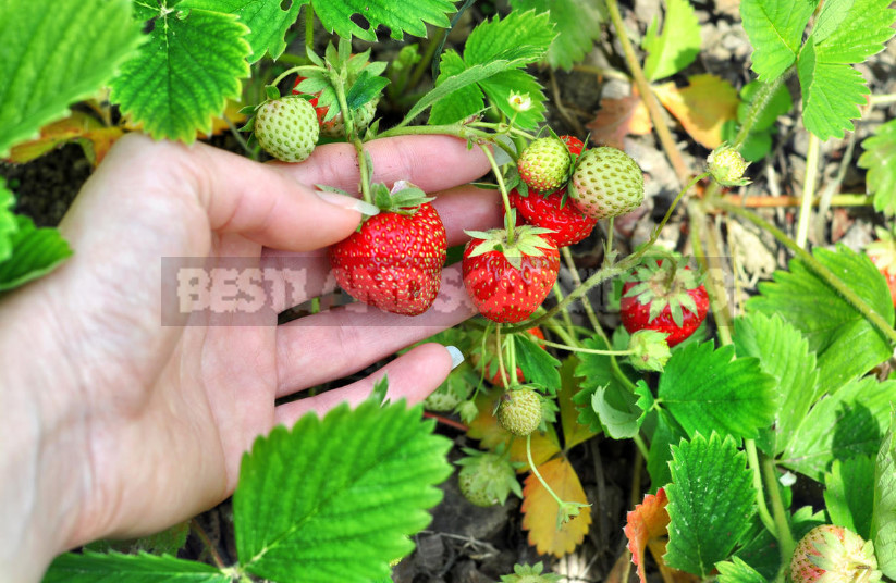 Why Strawberries Do Not Bloom: the Reasons for the Lack of Flowers (Part 2)