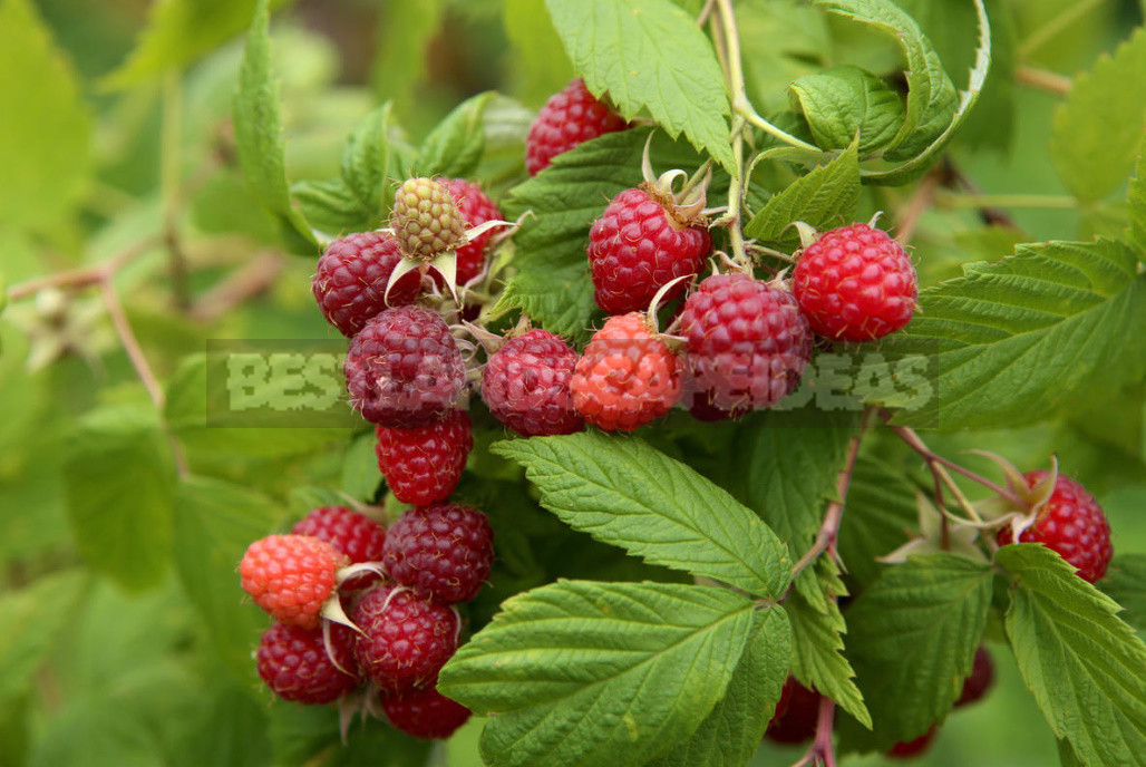 A simple way to increase the harvest of raspberries in half. Determine the best time for pruning 1 - A Simple Way to Increase the Harvest of Raspberries in Half. Determine the Best Time for Pruning. (Part 1)
