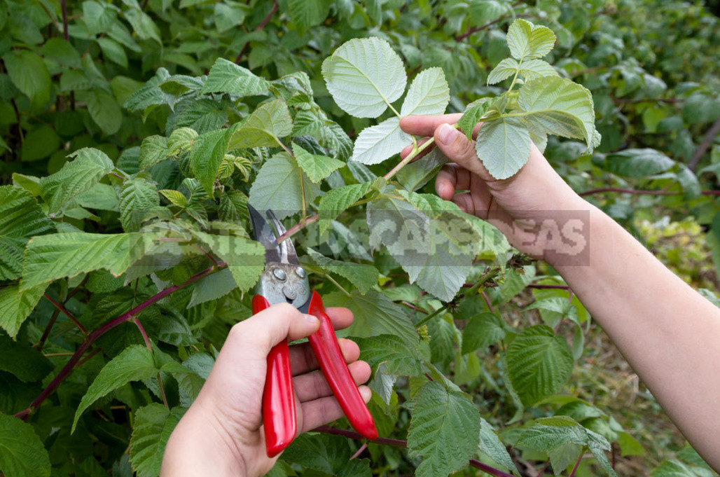 A Simple Way to Increase the Harvest of Raspberries in Half. Determine the Best Time for Pruning. (Part 1)