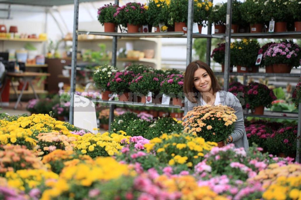 Chrysanthemum Multiflora the Real Queen of Autumn 1 - Chrysanthemum Multiflora - the Real Queen of Autumn!