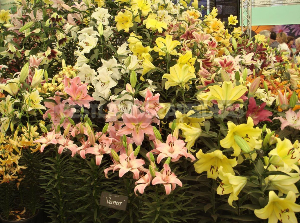 Classification of Lilies. Features of Hybrids 1 - Classification of Lilies. Features of Hybrids. (Part 1)