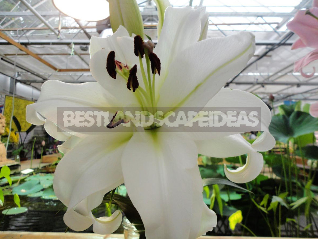 Classification of Lilies. Features of Hybrids. (Part 2)