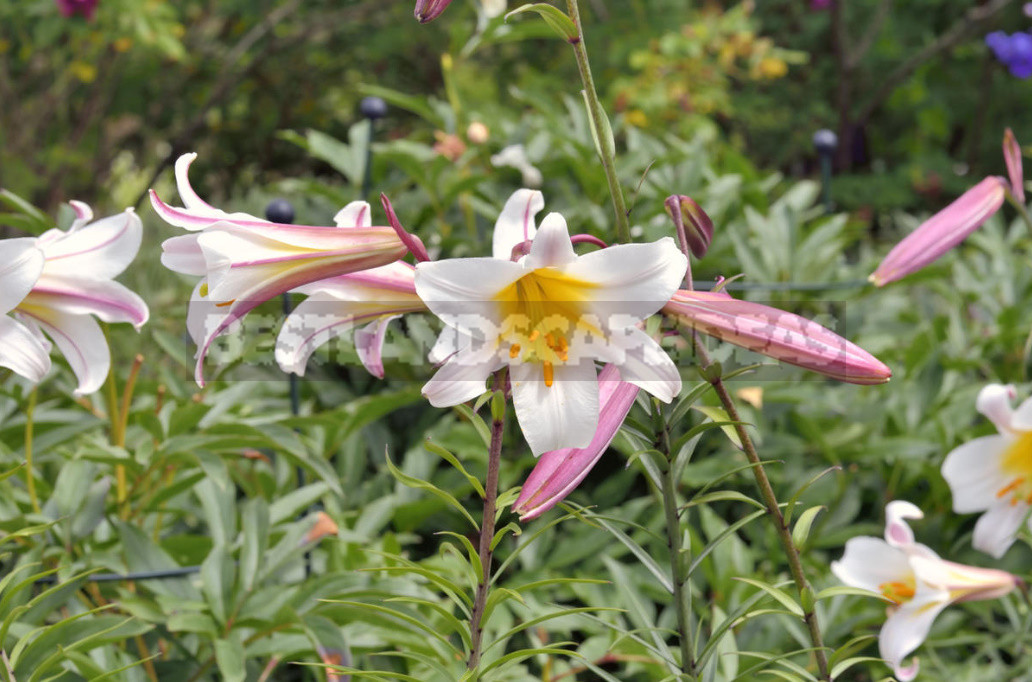 Classification of Lilies. Features of Hybrids. (Part 1)