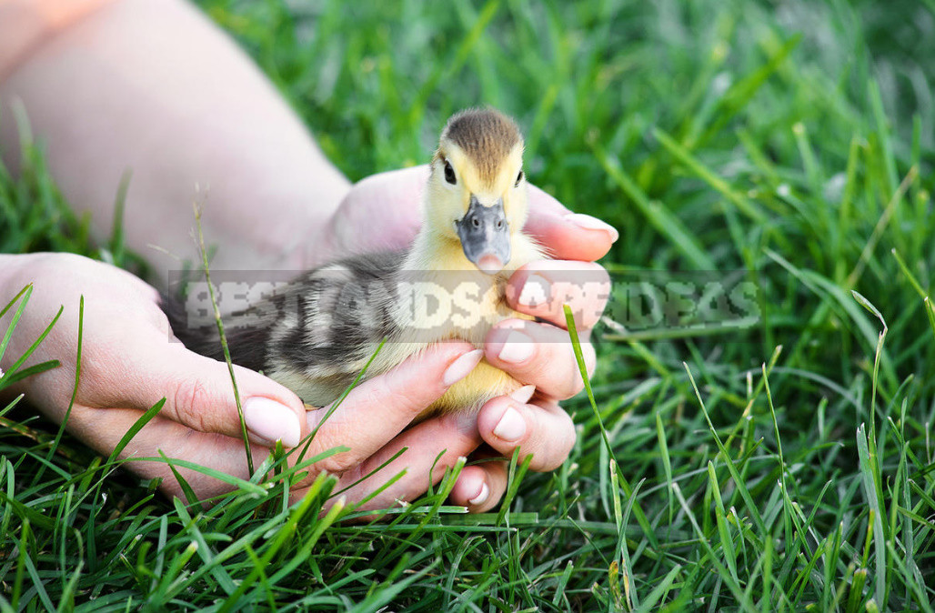 Feeding the ducks from the first days tips for caring 1 - Feeding the Ducks From the First Days, Tips for Caring