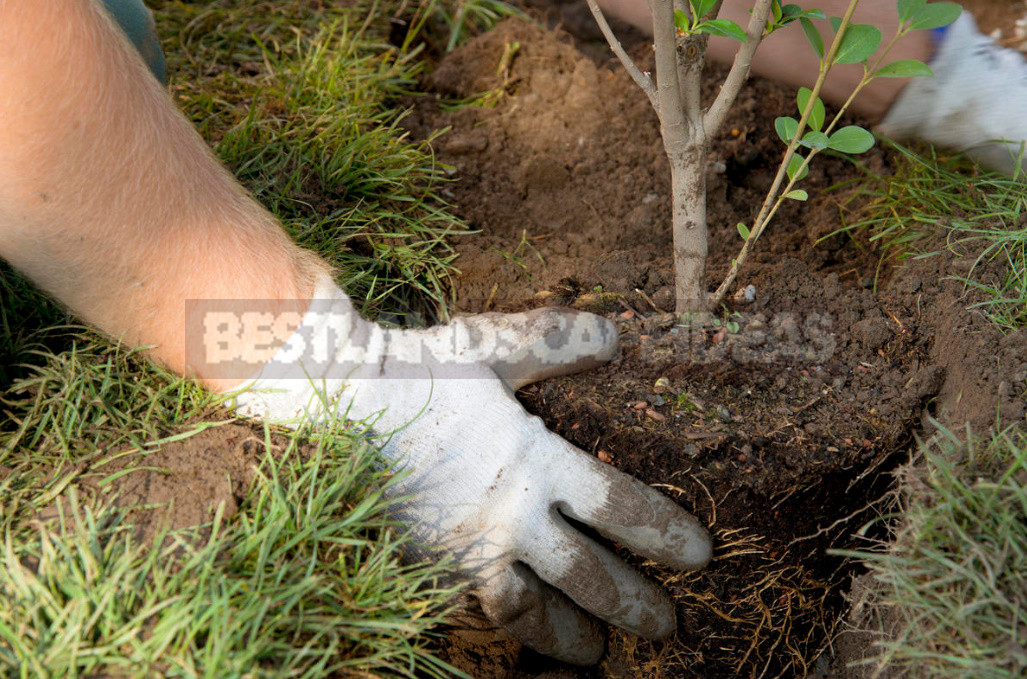 Five main rules of autumn planting trees and shrubs 1 - Five Main Rules of Autumn Planting Trees And Shrubs