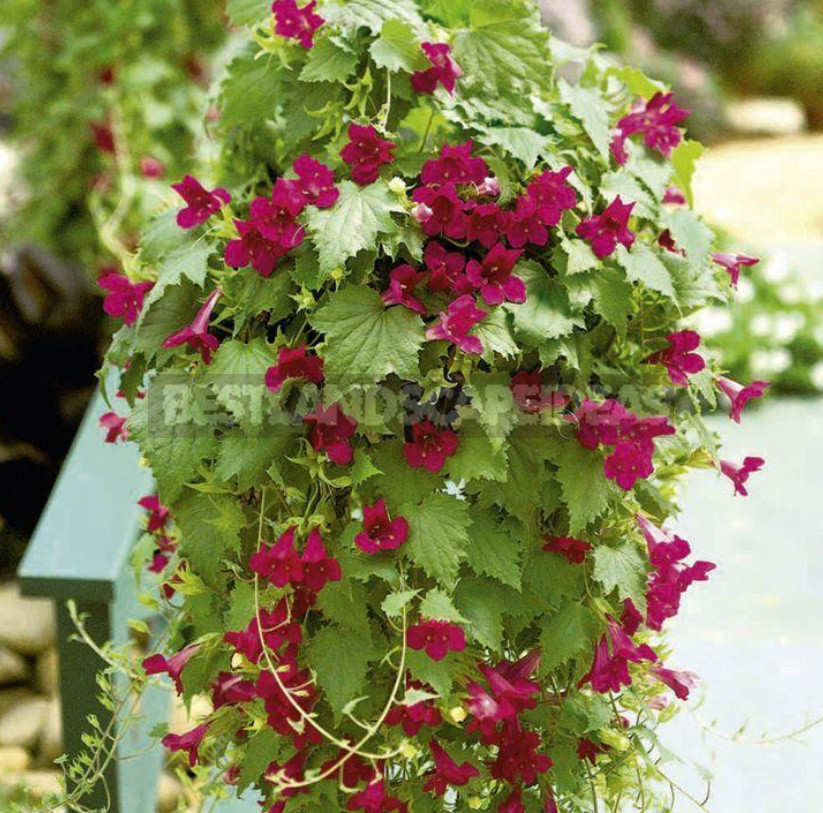 How to Create Spectacular Verticals in the Garden 4 Exotic Vines for a Fence or Gazebo 11 - How to Create Spectacular Verticals in the Garden: 4 Exotic Vines for a Fence or Gazebo