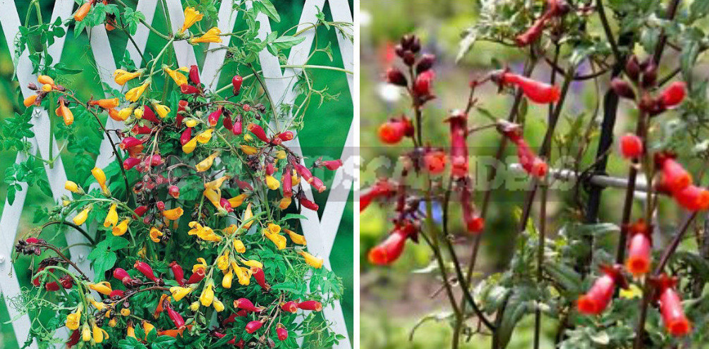 How to Create Spectacular Verticals in the Garden: 4 Exotic Vines for a Fence or Gazebo