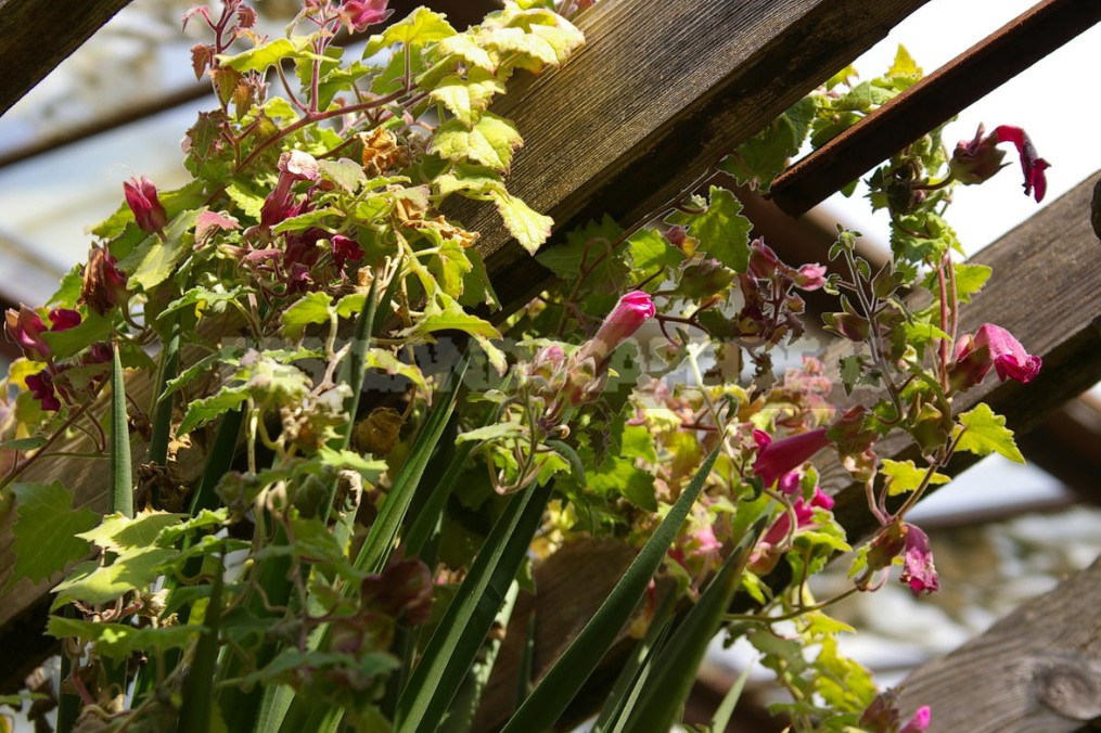 How to Create Spectacular Verticals in the Garden 4 Exotic Vines for a Fence or Gazebo 8 - How to Create Spectacular Verticals in the Garden: 4 Exotic Vines for a Fence or Gazebo