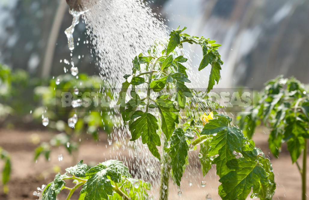 How to Get Rid of Whitefly in the Greenhouse. Proven Way.