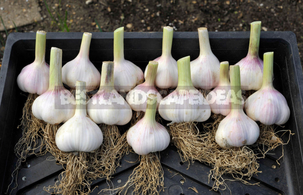 How to get a great harvest of large garlic my experience in growing 1 - How to Get a Great Harvest of Large Garlic: My Experience in Growing