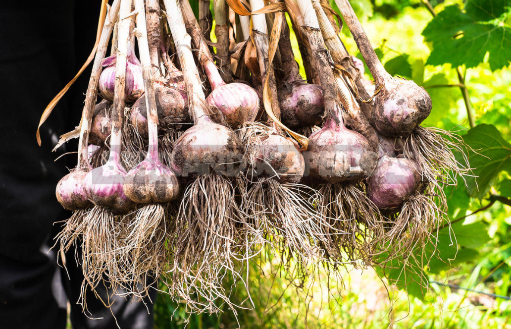 How to Get a Great Harvest of Large Garlic: My Experience in Growing