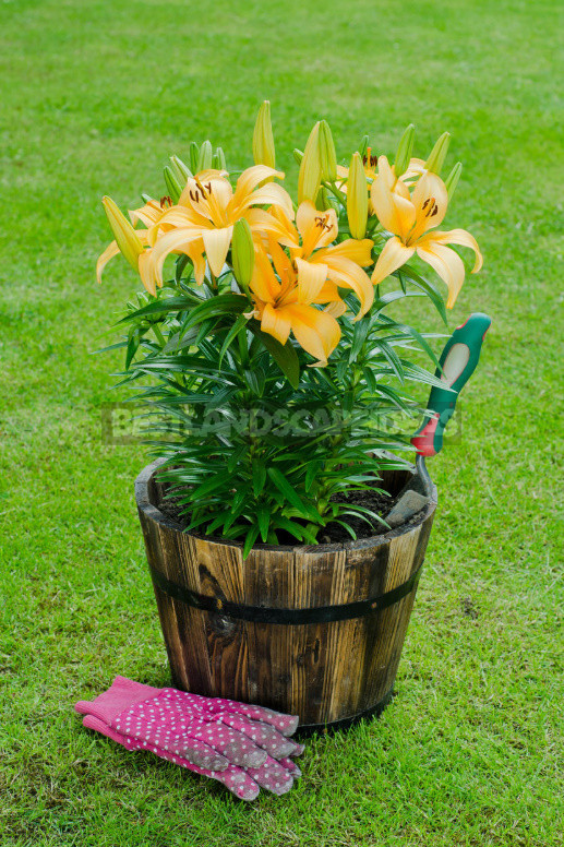 Planting lilies in the garden where how when and what to plant 5 - Planting Lilies in the Garden: Where, How, When And What to Plant