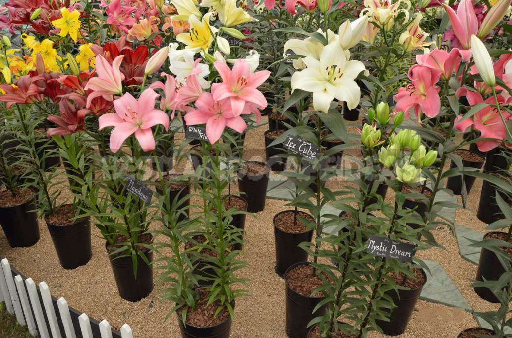 Planting lilies in the garden where how when and what to plant 6 - Planting Lilies in the Garden: Where, How, When And What to Plant