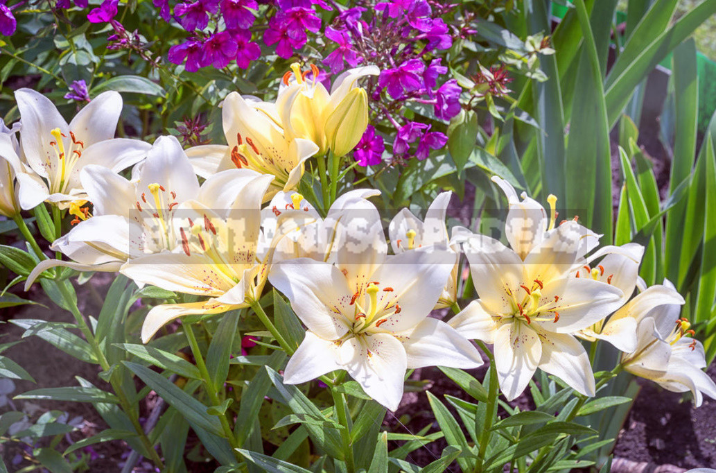 Planting lilies in the garden where how when and what to plant 7 - Planting Lilies in the Garden: Where, How, When And What to Plant