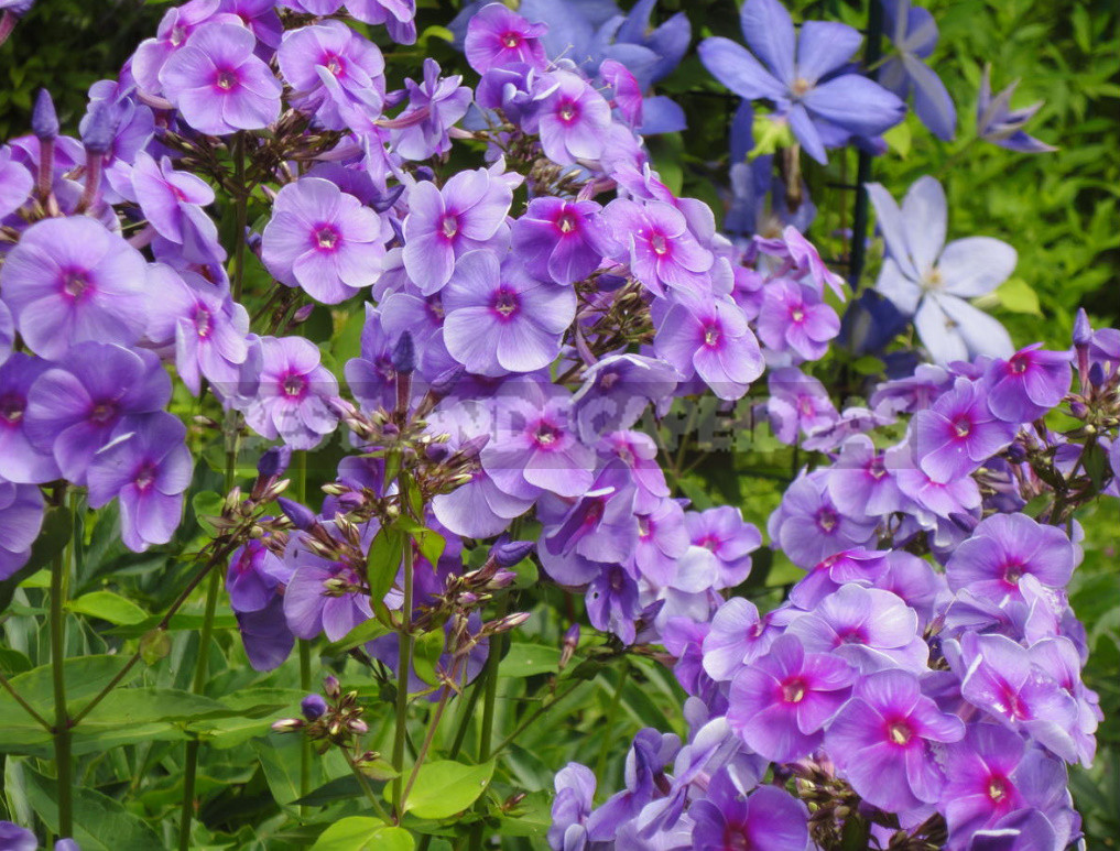 Planting lilies in the garden where how when and what to plant 8 - Planting Lilies in the Garden: Where, How, When And What to Plant