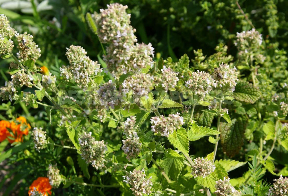 Plants for the Preparation of Syrups and Sorbets: 6 Recognizable Flavors