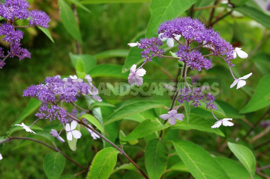 Rare but beautiful sparse shrubs for your garden 1 - Rare But Beautiful: Sparse Shrubs for Your Garden (Part 1)