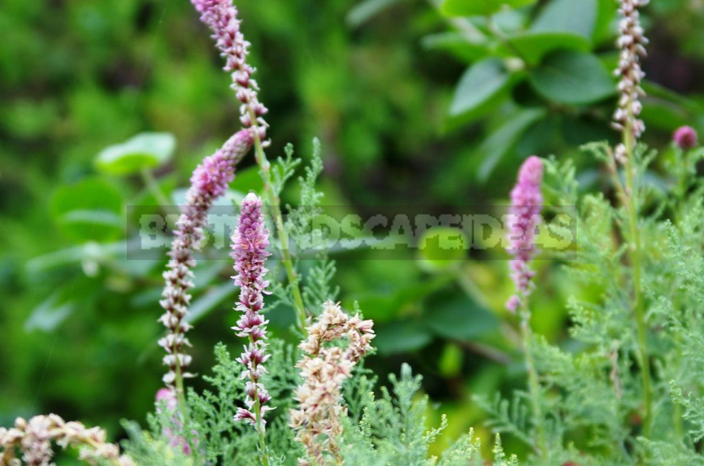 Rare but beautiful sparse shrubs for your garden 2 - Rare But Beautiful: Sparse Shrubs for Your Garden (Part 1)