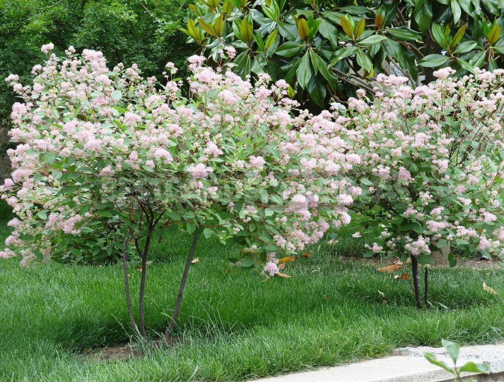 Rare but beautiful sparse shrubs for your garden 3 - Rare But Beautiful: Sparse Shrubs for Your Garden (Part 1)