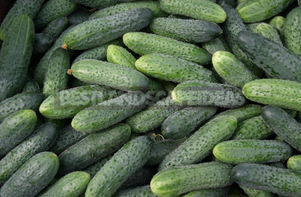 Salt or No Salt? Hybrids of Cucumbers for Blanks