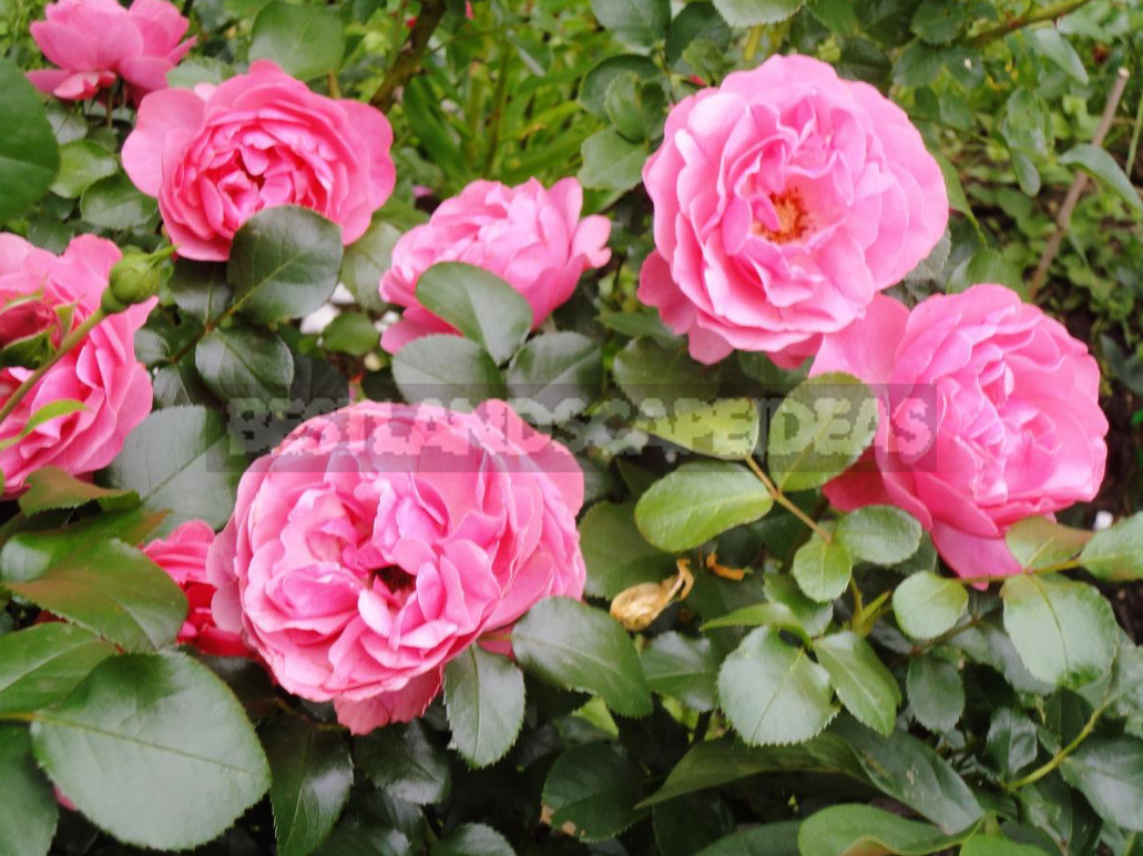 What are the most winter hardy roses a cheat sheet for the novice grower 10 - What are the Most Winter-Hardy Roses: a Cheat Sheet for the Novice Grower