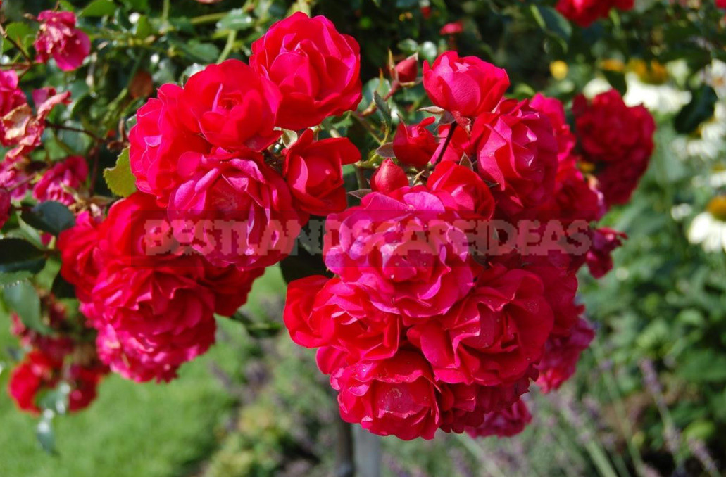 What are the most winter hardy roses a cheat sheet for the novice grower 11 - What are the Most Winter-Hardy Roses: a Cheat Sheet for the Novice Grower