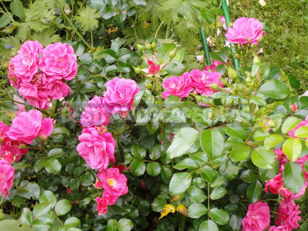 What are the most winter hardy roses a cheat sheet for the novice grower 12 - What are the Most Winter-Hardy Roses: a Cheat Sheet for the Novice Grower