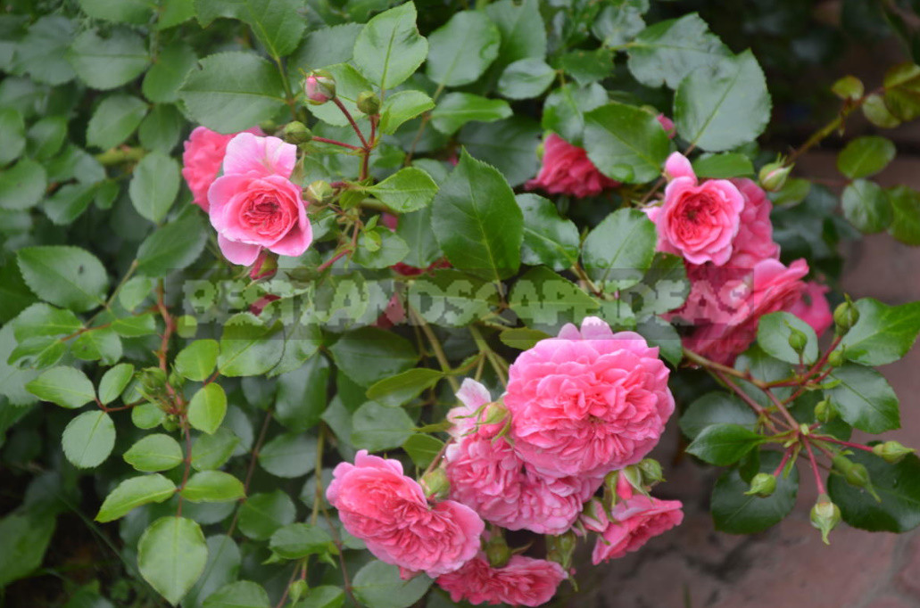 What are the Most Winter-Hardy Roses: a Cheat Sheet for the Novice Grower