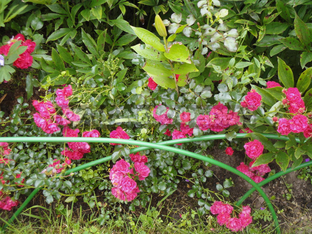 What are the most winter hardy roses a cheat sheet for the novice grower 15 - What are the Most Winter-Hardy Roses: a Cheat Sheet for the Novice Grower