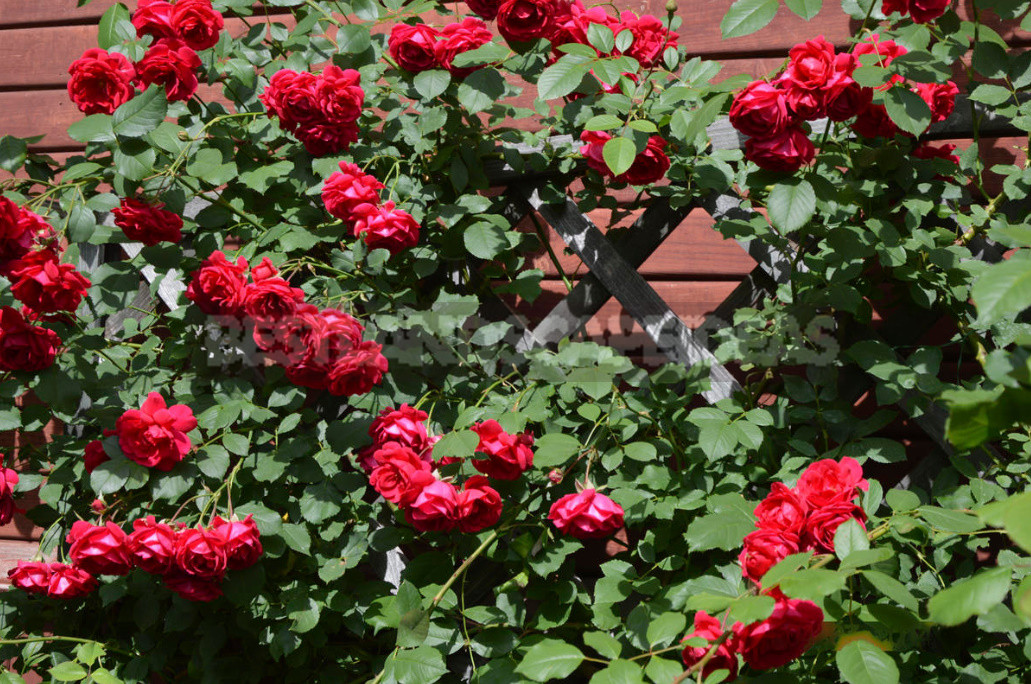 What are the most winter hardy roses a cheat sheet for the novice grower 2 - What are the Most Winter-Hardy Roses: a Cheat Sheet for the Novice Grower