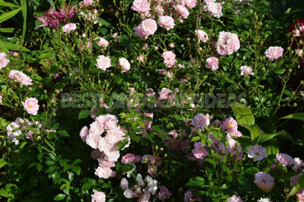 What are the most winter hardy roses a cheat sheet for the novice grower 4 - What are the Most Winter-Hardy Roses: a Cheat Sheet for the Novice Grower