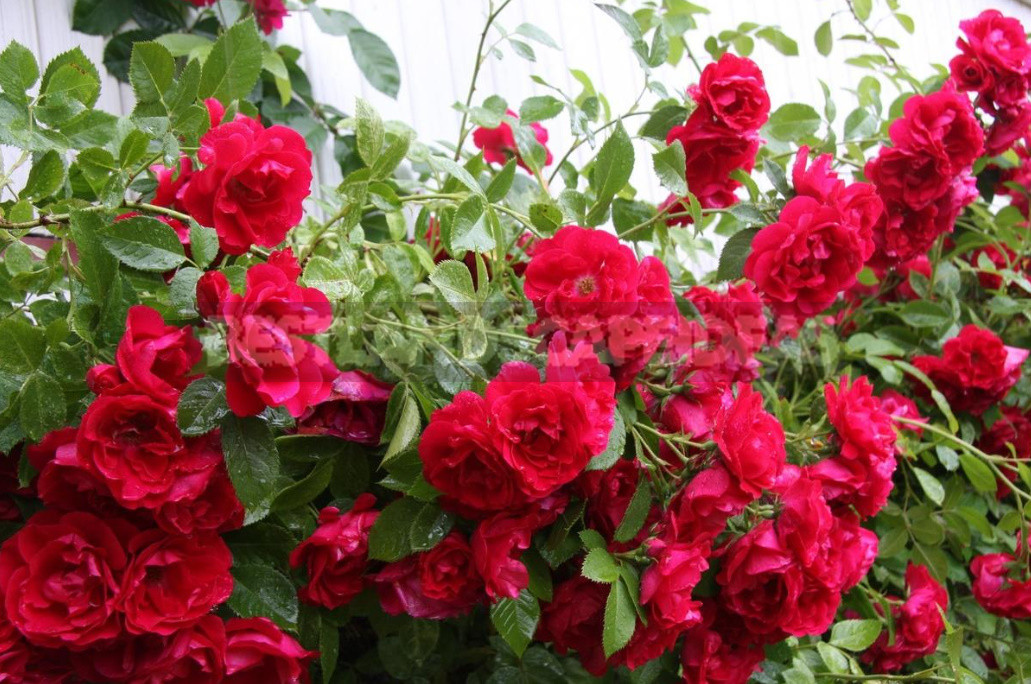 What are the most winter hardy roses a cheat sheet for the novice grower 5 - What are the Most Winter-Hardy Roses: a Cheat Sheet for the Novice Grower