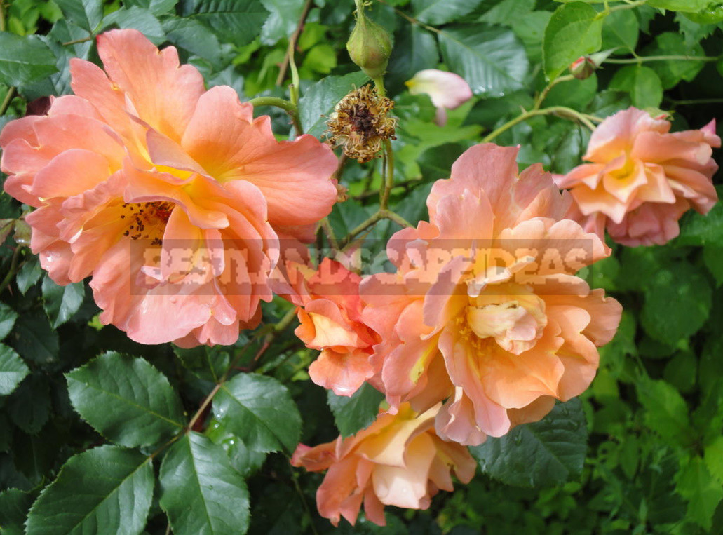 What are the most winter hardy roses a cheat sheet for the novice grower 6 - What are the Most Winter-Hardy Roses: a Cheat Sheet for the Novice Grower