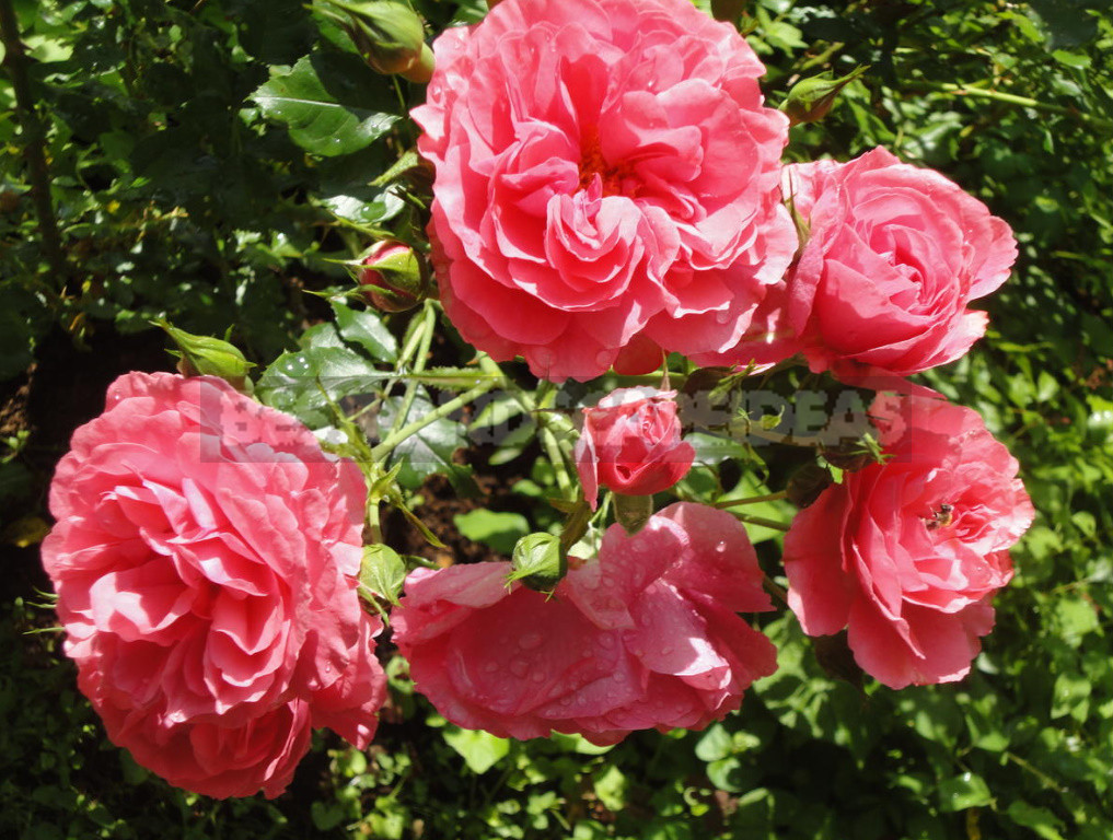 What are the most winter hardy roses a cheat sheet for the novice grower 7 - What are the Most Winter-Hardy Roses: a Cheat Sheet for the Novice Grower