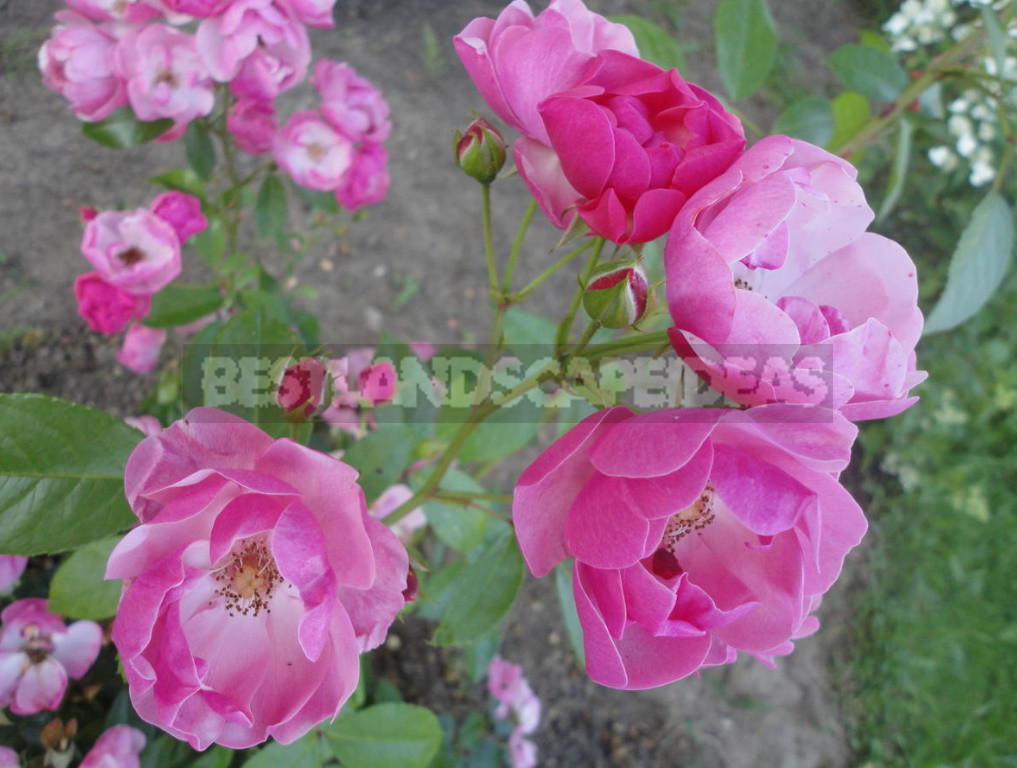 What are the most winter hardy roses a cheat sheet for the novice grower 8 - What are the Most Winter-Hardy Roses: a Cheat Sheet for the Novice Grower