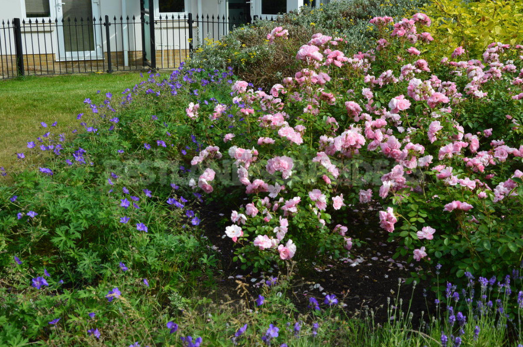 What are the most winter hardy roses a cheat sheet for the novice grower 9 - What are the Most Winter-Hardy Roses: a Cheat Sheet for the Novice Grower
