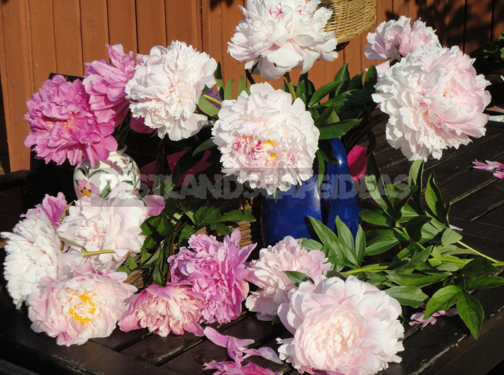 What is the secret of the popularity of American peonies 1 - What is the Secret of the Popularity of American Peonies? (Part 2)
