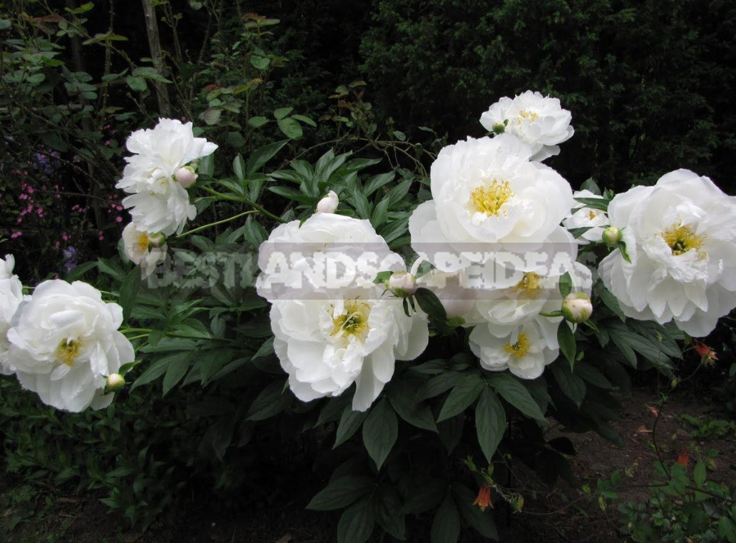 What is the secret of the popularity of American peonies 14 - What is the Secret of the Popularity of American Peonies? (Part 2)