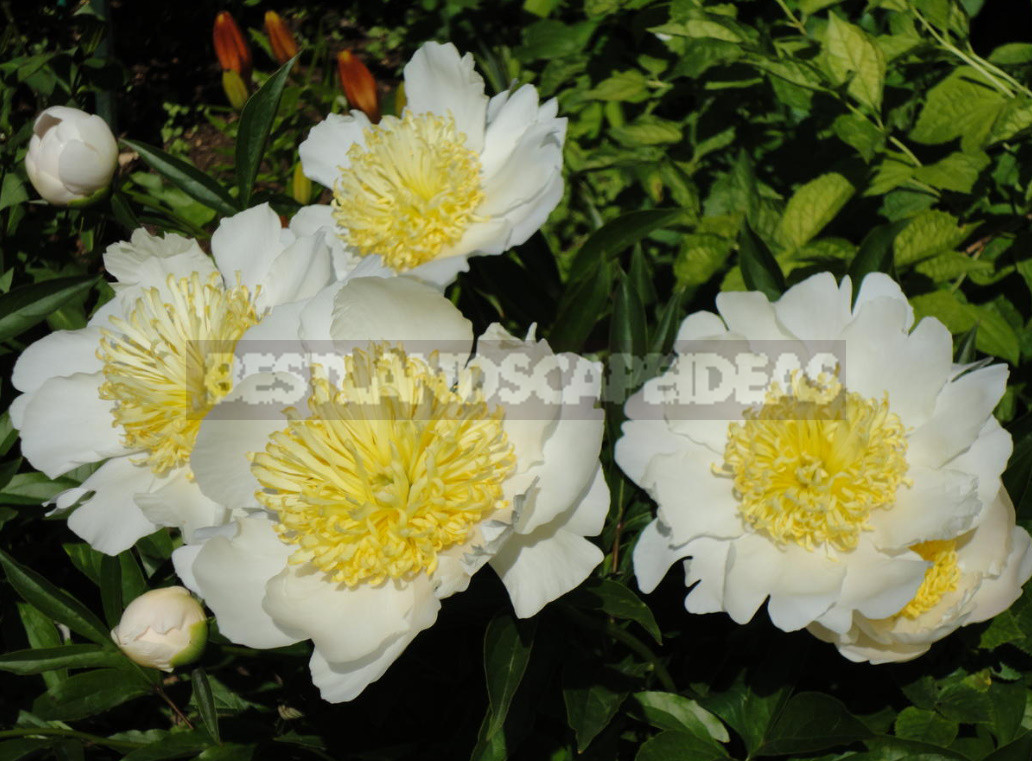 What is the secret of the popularity of American peonies 15 - What is the Secret of the Popularity of American Peonies? (Part 2)