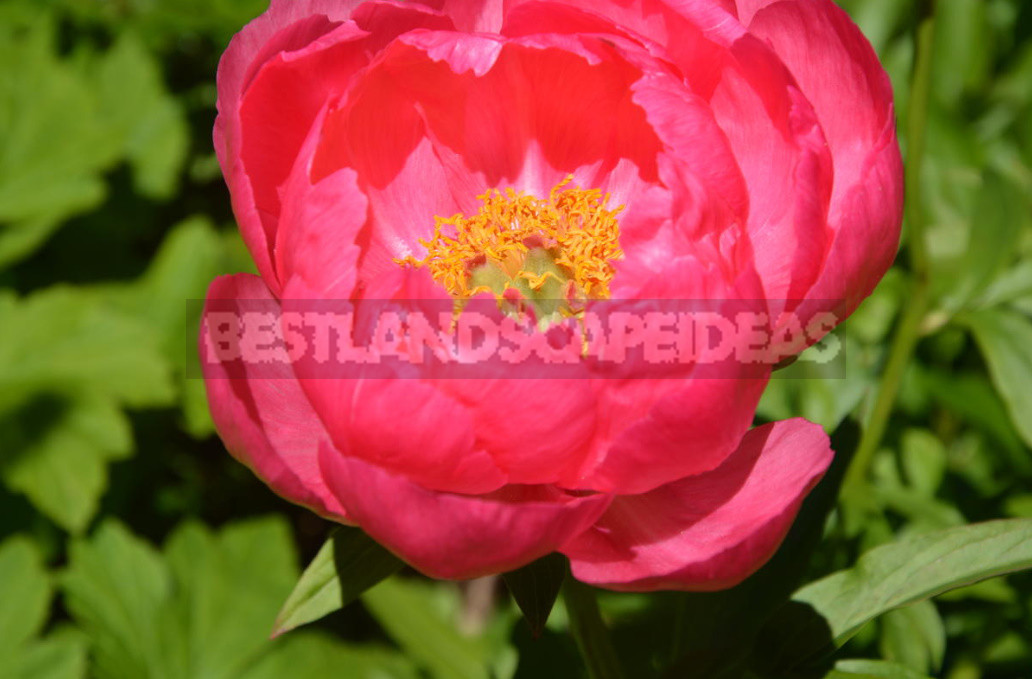 What is the secret of the popularity of American peonies 19 - What is the Secret of the Popularity of American Peonies? (Part 2)