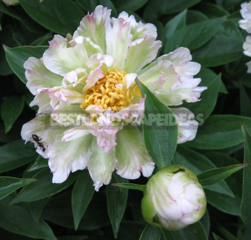 What is the secret of the popularity of American peonies 21 - What is the Secret of the Popularity of American Peonies? (Part 2)