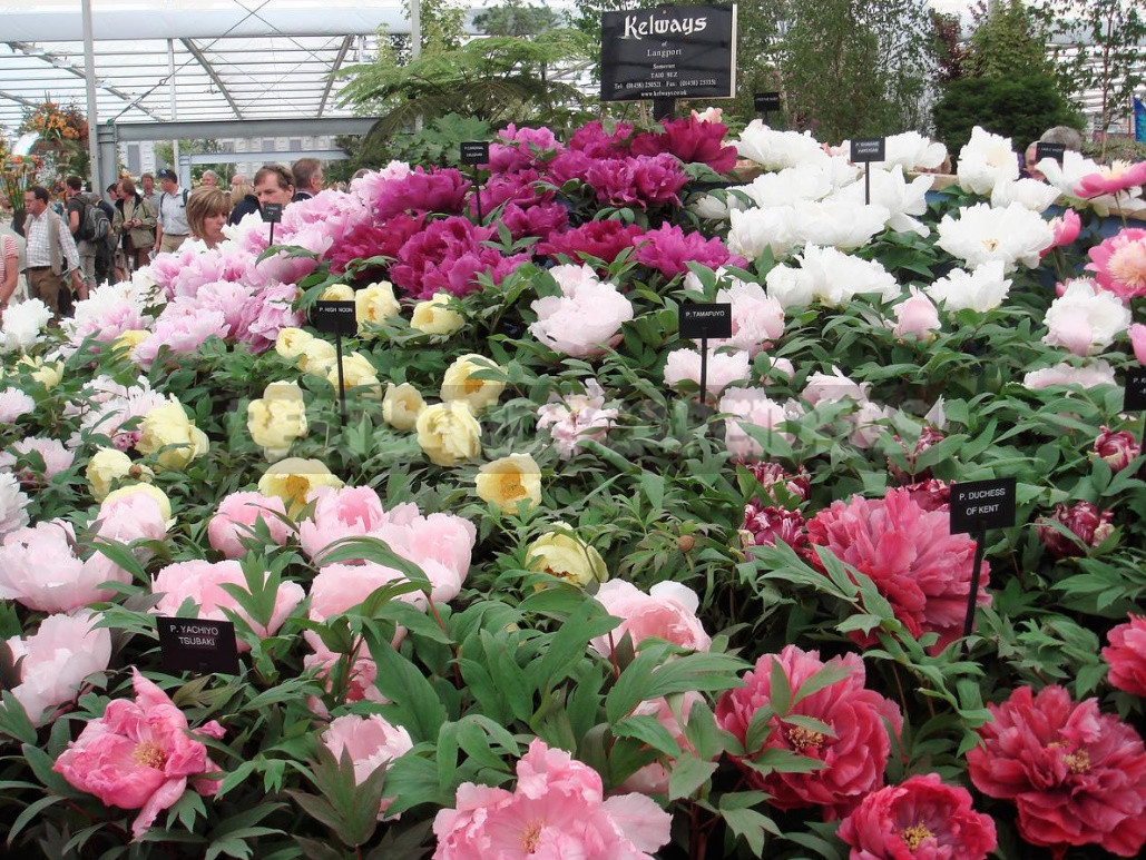 What is the secret of the popularity of American peonies 22 - What is the Secret of the Popularity of American Peonies? (Part 2)