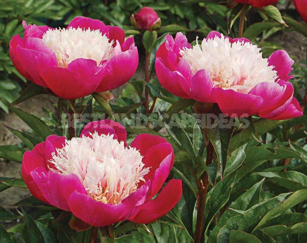 What is the secret of the popularity of American peonies 23 - What is the Secret of the Popularity of American Peonies? (Part 2)