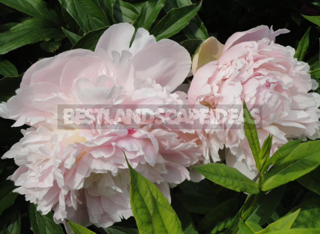 What is the Secret of the Popularity of American Peonies? (Part 1)