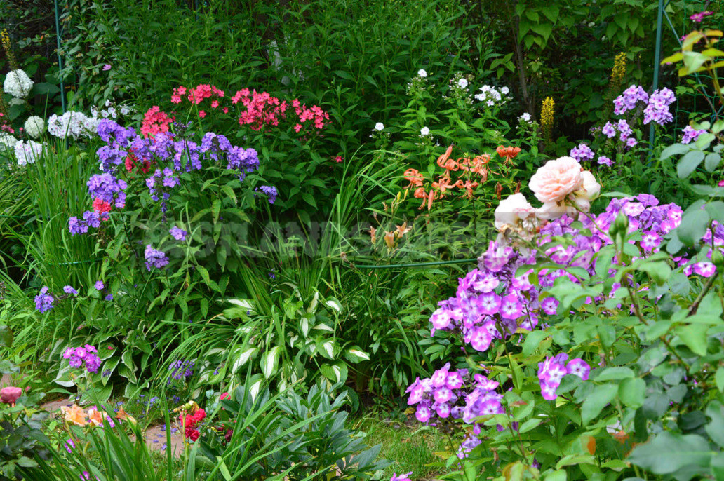 What to do with Phlox in August 1 - What to do With Phlox in August