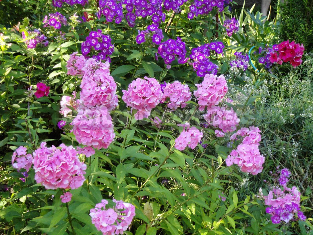What to do With Phlox in August